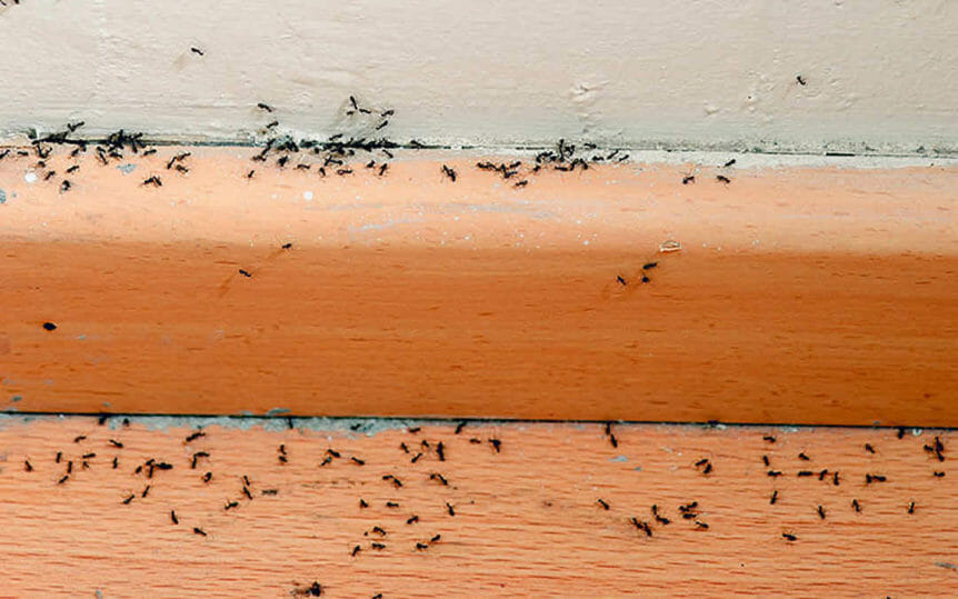 How to prevent a sugar ant infestation in houston for Ant infestation in kitchen cabinets